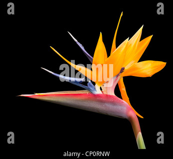 Cut out image of bird of paradise flower with pen tool path in file - Stock Photo