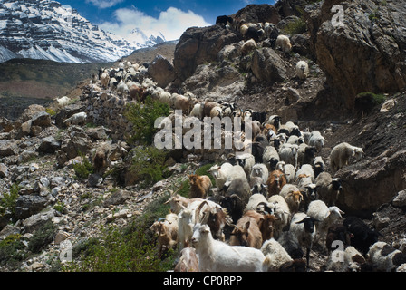 A flock of goats makes its way along the trail in Indian Himalayan region - Stock Photo