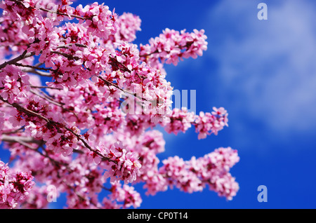 pink cherry blossoms with shallow depth of field and sky background - Stock Photo