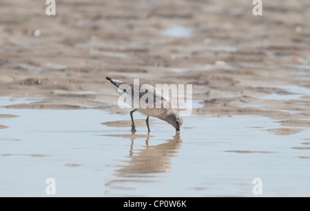 Knot feeding on sand at low tide, Rye Harbour, Sussex, UK - Stock Photo