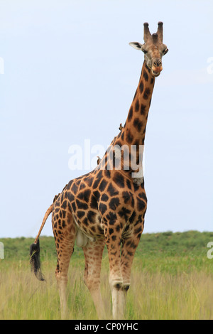 Mature male Rothschild's Giraffe (Giraffe camelopardis rothschildi)  with Oxpeckers at Murchison Falls National - Stock Photo