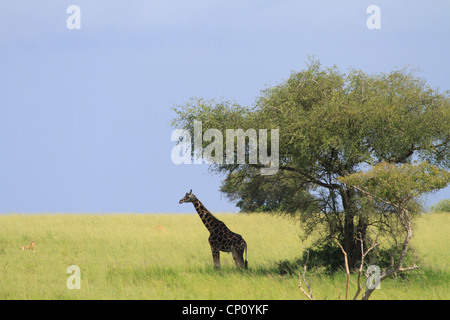 Mature male Rothschild's Giraffe (Giraffe camelopardis rothschildi) at Murchison Falls National Park, Uganda - Stock Photo
