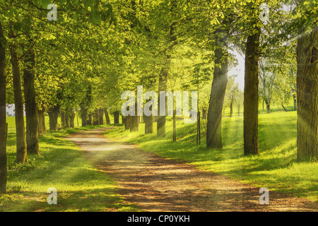 Baumallee, die Sonne scheint duch die Bäume | Avenue of trees, the sun shining through the trees - Stock Photo
