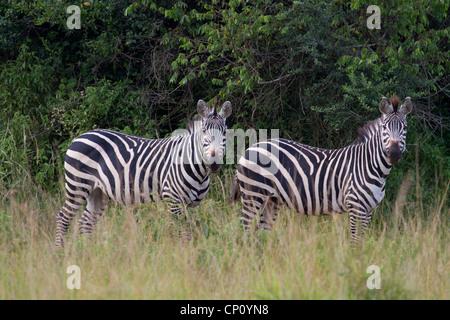 Two Burchell's Zebras (Equus quagga) in Lake Mburo National Park, Uganda - Stock Photo