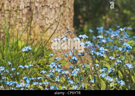 Myosotis is a genus of flowering plants in the family Boraginaceae that are commonly called Forget-me-not. - Stock Photo