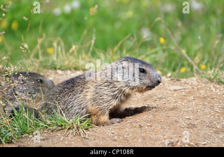 two baby marmots stand out of her den in Alpine meadow - Stock Photo