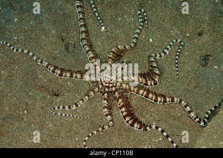 Mimic octopus, Thaumoctopus mimicus, Lembeh Strait Sulawesi Indonesia - Stock Photo