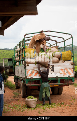 Workers load freshly harvested tea leaves on the back of a truck in Fort Portal, Uganda, East Africa. - Stock Photo