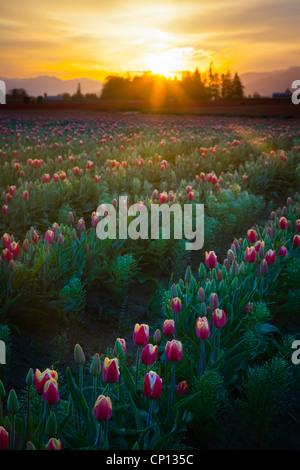 Tulip fields at sunrise in Skagit Valley in Mount Vernon, Washington, during the annual tulip festival - Stock Photo