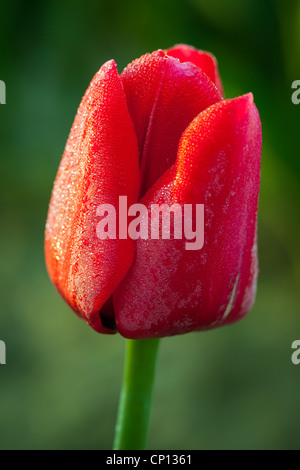 Tulips in Skagit Valley during the annual Tulip Festival - Stock Photo