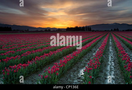 Tulip fields at sunrise in Skagit Valley in Mount Vernon, Washington, during the annual tulip festival - Stock Photo