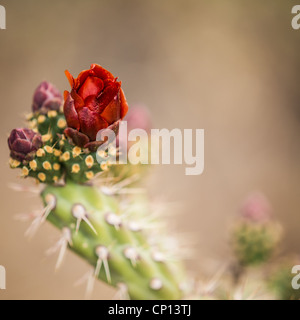 Macro photograph of a Buckhorn Cholla blossom and buds - Stock Photo