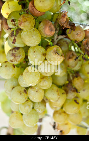 Cluster of white grape eaten and damaged by wasps - Stock Photo