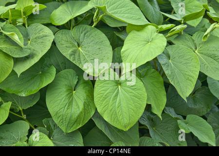 Kava foliage, shrub growing. - Stock Photo