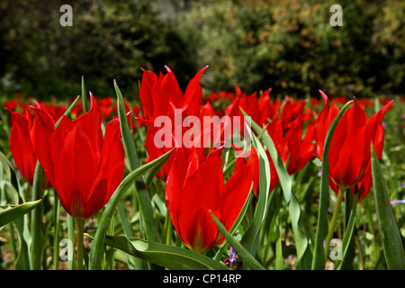 Beautiful tulips of Chios island, called 'lalades' by the locals. Northeast Aegean, Greece - Stock Photo