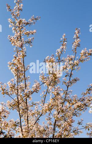 Amelanchier arborea, Robin Hill tree in blossom - Stock Photo