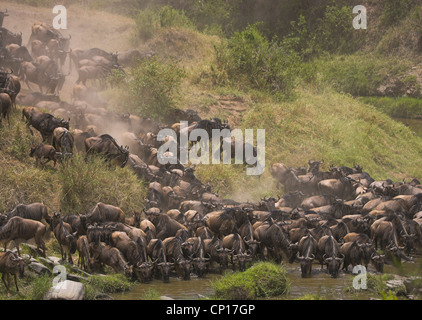 Herd of Blue Wildebeest (Connochaetes taurinus) drinking during annual 'great' migration in Masai Mara, Kenya. - Stock Photo