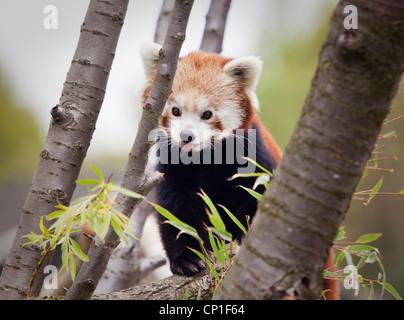 A male red panda in an enclosure at Birmingham Nature Centre in the UK. - Stock Photo