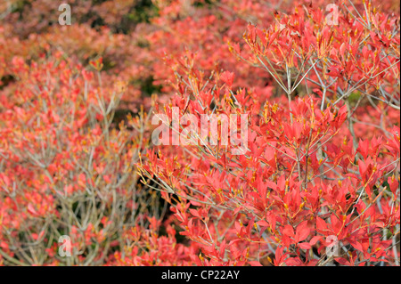 red bush in autumn, Japan - Stock Photo