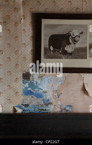 Detail of distressed wallpaper with photograph of prize bull - Stock Photo