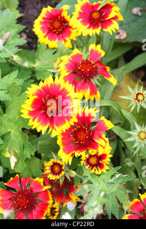 Red and yellow zinnia flowers with green leaves - Stock Photo