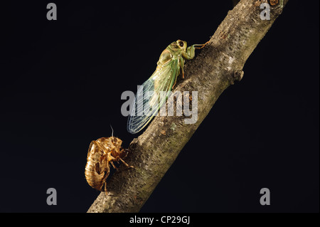 ANNUAL CICADA FRESHLY MOLTED AND EMERGED TO REST ON TREE BRANCH - Stock Photo