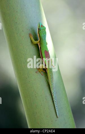 Lined Day Gecko, Phelsuma lineata, Gekkonidae, Squamata, Reptilia.  Andasibe Reserve, Madagascar, Africa. - Stock Photo