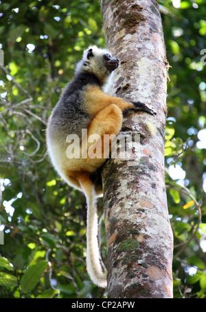 Diadem Sifaka or Diademed Sifaka, Propithecus diadema, Indriidae, Lemuriformes, Primates. Andasibe Nature Reserve, - Stock Photo