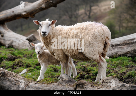 Sheep farming in Wales - a ewe with her spring lamb UK - Stock Photo