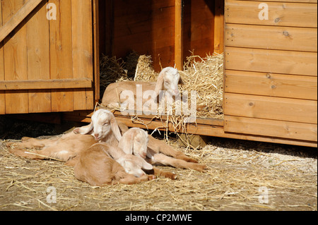 goats laying down in the spring sunshine white post farm nottinghamshire - Stock Photo