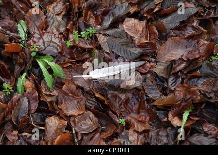 it's a photo of a feather that fall on the ground over brown dead leaves. It's winter in west of France in Normandy. - Stock Photo