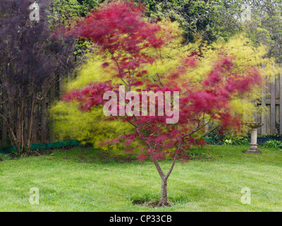 Blurred leaves of Red Japanese Maple tree Acer palmatum 'Atropurpureum' blowing in the wind in a domestic garden - Stock Photo