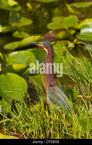A little green heron fishing on the Anhinga Trail in the Everglades National Park, Florida, USA. - Stock Photo