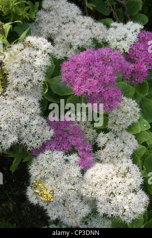 Mixed Flowering Sedum spectabile 'Iceberg' White Flowering and 'Meteor' Pink Flowering. Known as the Ice Plant - Stock Photo