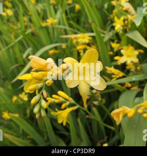 Crocosmia x crocosmiiflora (syn. Montbretia crocosmiiflora) Cultivar 'Citronella' otherwise known as the Lucifer - Stock Photo