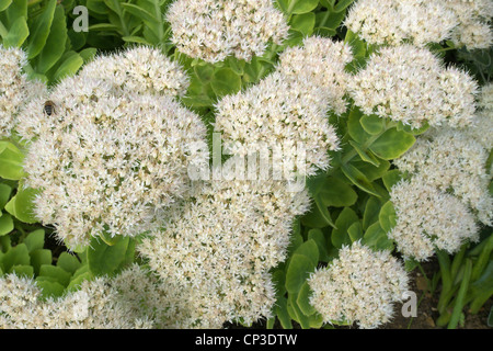 Flowering Sedum spectabile Cultivar 'Iceberg' in Autumn commonly known as the Ice Plant. - Stock Photo