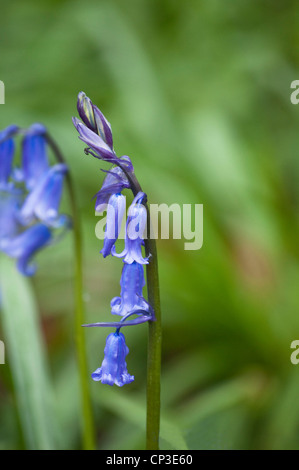 An English Bluebell   (Hyacinthoides non scripta ) buds unfurling, found growing near The Cotswold Way, at Southam, - Stock Photo