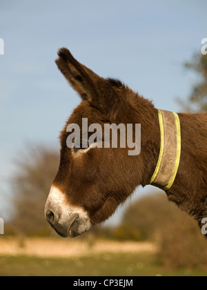 Donkey in the New Forest National Park Hampshire England UK - Stock Photo
