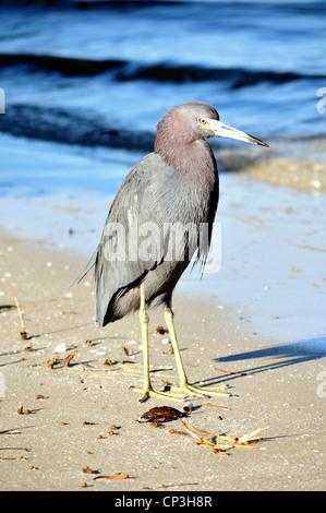 Little blue heron, Egretta caerulea, on a Florida beach - Stock Photo