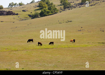 Free range cows grazing on green hillside -  California USA - Stock Photo