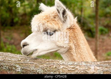 Close up Alpaca eating - Stock Photo