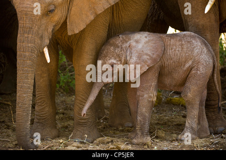 A one-day-old elephant calf (Loxodonta africana) rises from where it has been sleeping the ground beneath its mother - Stock Photo