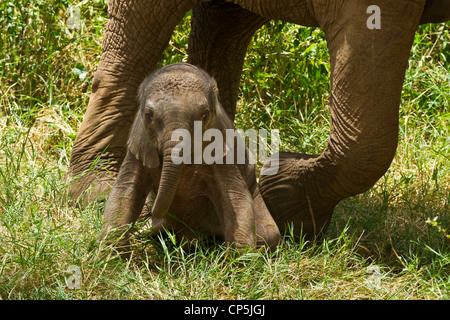 Elephant calf (Loxodonta africana) rising from a lying down position in the grass beneath its mother - Stock Photo