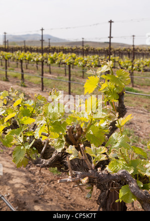 Spring growth of commercial grape vineyard in Central California, USA - Stock Photo