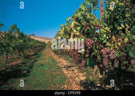 Emilia Romagna - Castel San Pietro Terme (Bo). Vineyards, grapes Trebbiano - Stock Photo