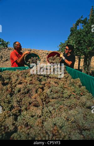 Emilia Romagna Castel San Pietro Terme Grape Harvest Trebbiano - Stock Photo