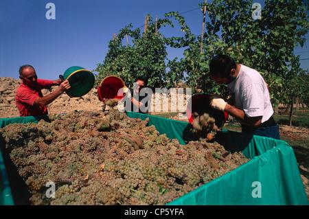 Emilia Romagna - Castel San Pietro Terme (Bo). Harvest of 'Trebbiano grape. - Stock Photo