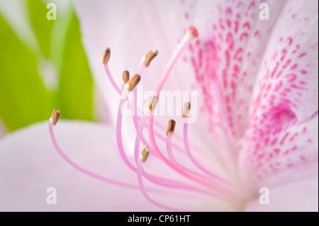 Azalea Pink Flower Pistils Detail - Stock Photo