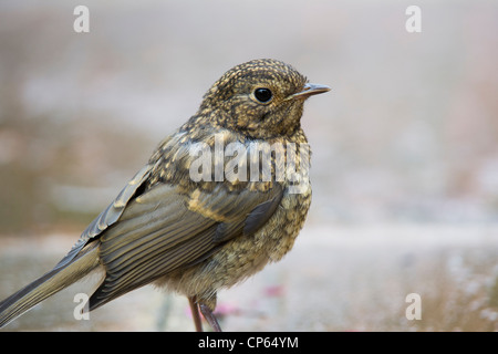 Fledged juvenile Robin on garden path. UK - Stock Photo
