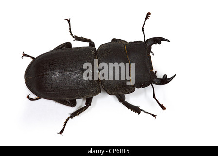 male Dorcus parallelipipedus (lesser stag-beetle) - Stock Photo